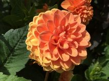 Orange Dahlien Stockfoto