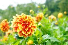 Orange Dahlienblumen im Park Lizenzfreies Stockbild
