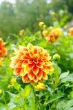 Orange Dahlienblumen im Park Stockbilder