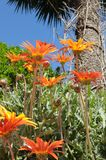 Orange daisies. With a blue sky Royalty Free Stock Images