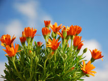 Orange Daisies. Plant of orange Osteospermum against a sunny blue sky with clouds Royalty Free Stock Image