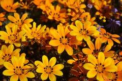Orange daisies stock photography