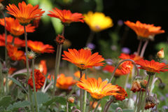 Orange Daisies Royalty Free Stock Images