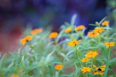 Orange Daisies Royalty Free Stock Photos