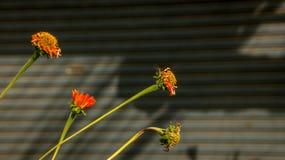 Orange Daisies - Fresh and Dying/ Dry - on Corrugated Background