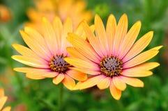 Orange daisies Stock Images