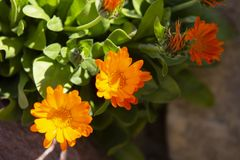 Orange daisies ground cover royalty free stock photography