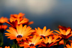 Orange daisies in summer garden Stock Photo