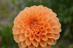 Orange daisies Stock Image
