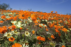 Orange daisies under blue sky Royalty Free Stock Photos