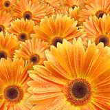Orange daisies with water drop Royalty Free Stock Image