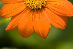 Orange Daisy. Head in the garden Stock Image