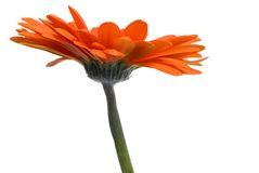 Orange Daisy. A close up shot of an Orange daisy for the side, isolated on a white background Stock Image