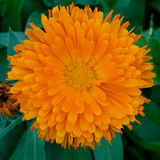 Orange Daisy Stock Image