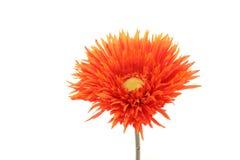 Orange daisy Stock Image