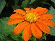 Orange Daisy. A bright, orange daisy up close Royalty Free Stock Images