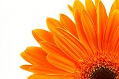 Orange daisy stock photo