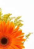 Orange daisy Royalty Free Stock Photos