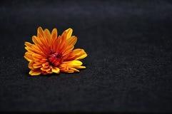 An orange daisy. On a black background stock photos