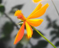 Orange daisy on black and white with hint of green royalty free stock image