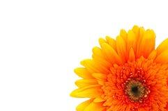 Orange daisy close up Stock Photos