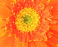 Orange daisy close up Stock Photo