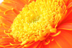 Orange daisy close up Royalty Free Stock Images