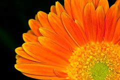 Orange daisy closeup Stock Images