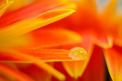 Orange daisy colors refraction on water drops Stock Photos