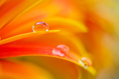 Orange daisy colors in a water drop Royalty Free Stock Images