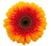 Orange Daisy flower Royalty Free Stock Image