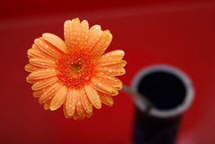 Orange daisy flower. Overhead macro view of orange daisy flower in pot with red background Stock Image