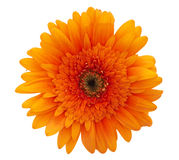 Orange Daisy Flower Stock Photo