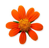 Orange daisy flower Stock Image