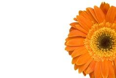 Orange daisy flower. Isolated on white Stock Photos