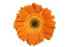 Orange daisy flower. Isolated on white Stock Photography