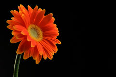 Orange daisy flower on black Stock Photography
