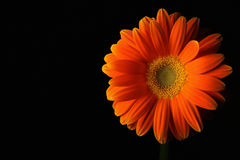 Orange daisy flower on black Stock Photo