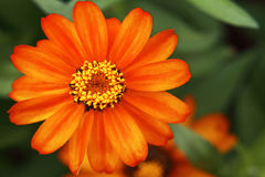 Orange daisy flower in bloom Royalty Free Stock Photography