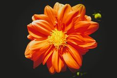 Orange Daisy Flower in Close-up Photography Royalty Free Stock Photos