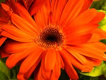 Orange Daisy Flower Closeup. On green plant leaves royalty free stock image
