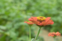 Orange daisy flower in the garden Royalty Free Stock Photography