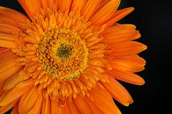 Orange Daisy Flower Gerbera With Water Drops royalty free stock photography