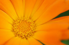 Orange daisy flower inside detail. Macro Stock Image