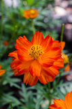 Orange daisy flower. In park royalty free stock photos