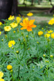 Orange daisy flower. In park stock images