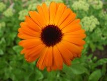 Orange daisy flower with waterdrops. Orange daisy gerbera flower with waterdrops. on grass background Royalty Free Stock Image