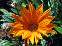 Orange Daisy. The daisy, a flower whose scientific name is Chrysanthemum leucanthemum, is a flower that is also known as marigold, chrysanthemum, well-wisher Stock Photos