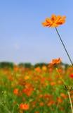 Orange daisy flowers. Beautiful garden with numerous orange daisy flowers royalty free stock image