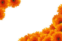 Orange daisy flowers Stock Images